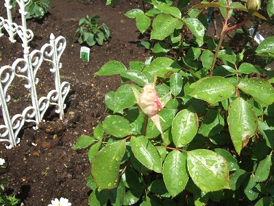 ee-rose080506.jpg